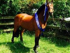 Registered Part Bred New Forest 13.1/2hh Bay