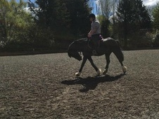 15hh mare for sale