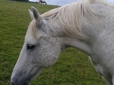 Lippizaner x Arab mare,  15hh,  18 yrs.  Grey.  light hack/broodmare/companion