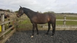 16hh Beautiful All Rounder *Price Reduced* for sale