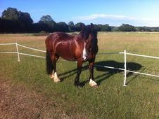 14. 2hh Welsh mare for loan/share