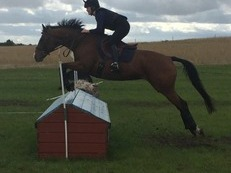 Talented Potential Event Horse/Competitive Riding Club Horse