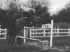 a 16: 2 bay showjumping gelding