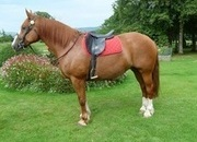 9yr Old 15.2hh 9year Old Normandy Cob