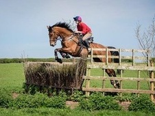 Exciting 16. 2hh Bay Gelding