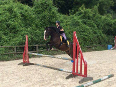 15.1 Cobx Gelding for sale