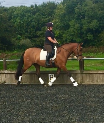 16hh Andalusian bay mare