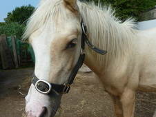 Back on the market: Palomino Filly