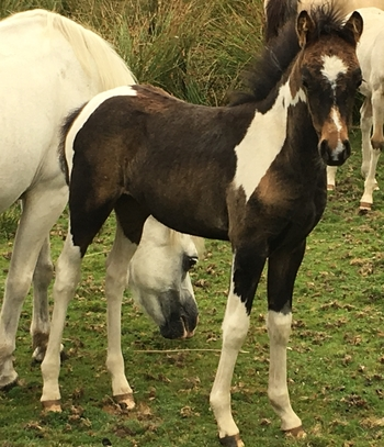 Stunning WPBR coloured filly
