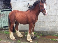 Lovely little Colt for sale!