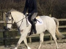 15hh Connemara Gelding 7 years