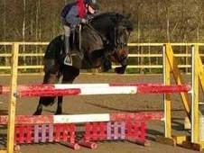 ***SOLD TO ITALY***15hh 8yr Old Connemara