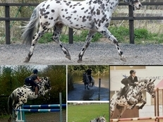 **Stunning Appaloosa** Part Time Loan / Share