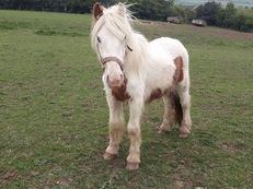 *Reduced* Louis 18 months old Cob x