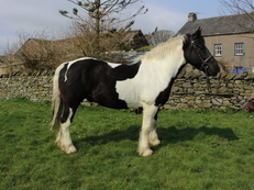 16hh 9 year old Piebald Gelding Warmblood X