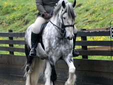 Striking Blue and White Coloured Cob