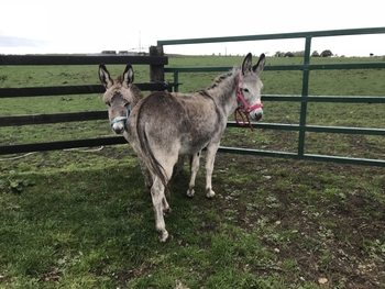 Willow & Grey Bob mare and foal