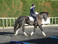 Superb pony club/riding club/hunter/family horse