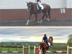 Lovely, Flashy 17hh Mare. Allrounder/Dressage