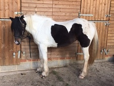 16hh Coloured 3 yo mare all rounder