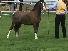 Stunning Section A potential lead rein pony 10.3hh liver chestnut with 4 white socks