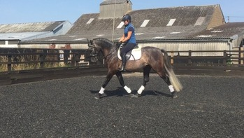 **REDUCED***Super 15:2 4yo PRE Andalusian Gelding