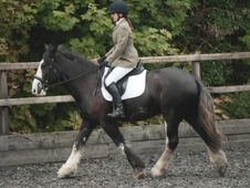 Sharer wanted for my lovely Cob gelding Dexter
