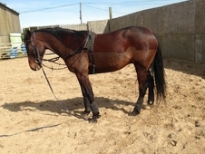 15. 3 6 year old stagbi reg standardbred gelding loan/sale