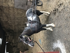 12hh WPB Driving pony