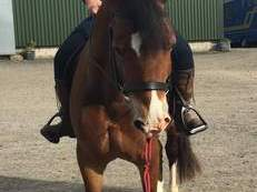 5 YEAR OLD WELSH D GELDING