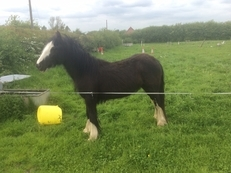 Miss Molly May Cob Filly to make 13.3HH