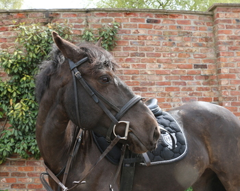 Quiet 14hh Dark Bay 9 yrs old Mare