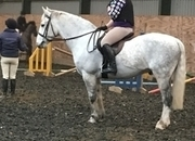 11y/o Connemara x Irish Draft (full breeding) 15hh  152.4cm