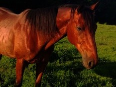 15.2 bay thoroughbred gelding