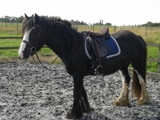 14. 2 Cob Mare, Project, Ride and Drive, Broodmare