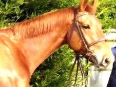 ** STUNNING LOOKING CHESTNUT MARE **
