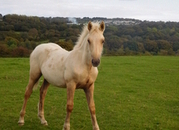 SMART PALOMINO WELSH PART - BRED COLT FOAL. OTHER QUALITY STOCK AVAILABLE BOTH FULL WELSH COB SECTION D AND PART-BRED - FOALS, YOUNGSTOCK, READY TO BREAK, BROODMARES AND A STALLION