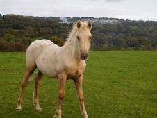 SMART PALOMINO WELSH PART - BRED COLT FOAL. OTHER QUALITY STOCK A...