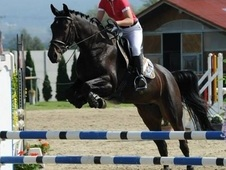 **BARGAIN**Big Scopey Showjumper. Winning at 1. 20 ready to move ...