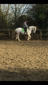 16 3, 11 Years Old, Irish Sports Horse FOR SALE