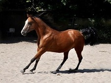 Calm, Gorgeous Mare With Lovely Gaits