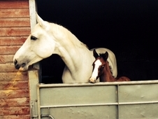 17. 2 broodmare lease /loan Irish sport horse covers diamond boy ...