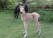 VERY PRETTY WELSH PART-BRED BUCKSKIN FILLY FOAL WITH EXCELLENT BLOODLINES AND POTENTIAL - OTHER FOALS EXPECTED AND WILL BE OFFERED FOR SALE AS WELL AS OTHER QUALITY STOCK AVAILABLE
