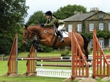 16. 3hh Irish Bay Gelding Allrounder / Eventer
