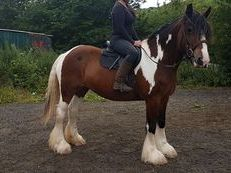 8 Year Old Coloured Cob X