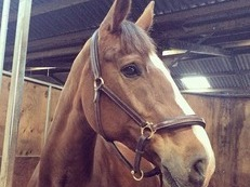 16.1h chestnut mare *not to be missed*
