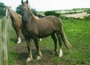 PRETTY WELSH COB SECTION D LIVER CHESTNUT BROODMARE WITH EXCELLENT BLOODLINES - CAN BE COVERED BY STUD STALLION IF REQUIRED . OTHER QUALITY STOCK AVAILABLE FOR SALE.