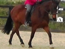 16. 1hh, 8 year old bay mare for sale