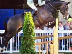 Fabulous Irish Small Hunter Show Horse/All-Rounder