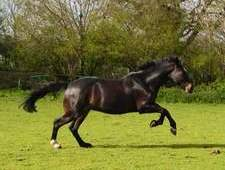 Brave, kind 16hh cob x th mare, for sale through no fault of her own